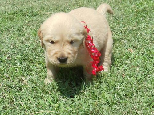 akc golden retriever pups