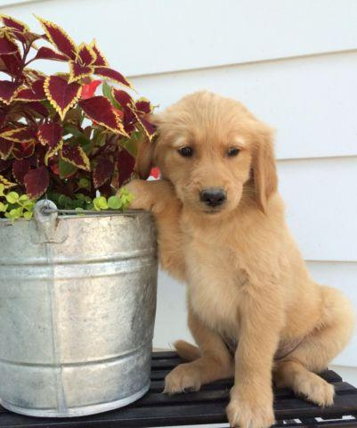 Golden Retriever Mix Dogs Pets And Animals For Sale In Indiana
