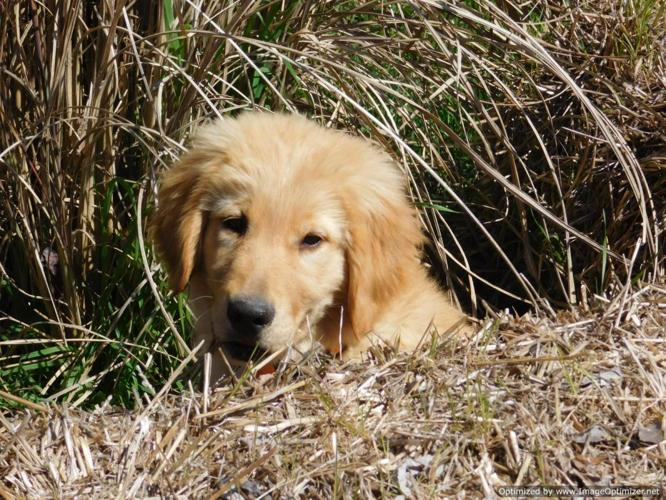 Akc golden retriever pups for sale