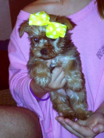 AKC Golden Yorkies