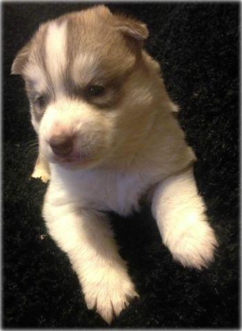 AKC Gray/White Splash Coat Male Siberian Husky