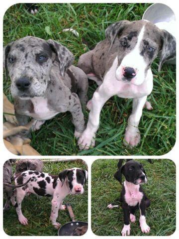 AKC Great Dane Puppies!!! for Sale in Alum Ridge, Virginia ...
