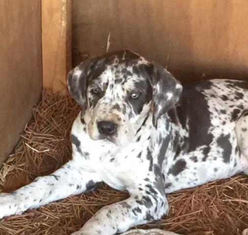 Akc great dane puppies for sale in wewahitchka florida classified