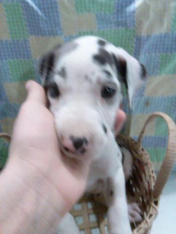Akc Great Dane Puppies For Sale In Marshfield Missouri Classified