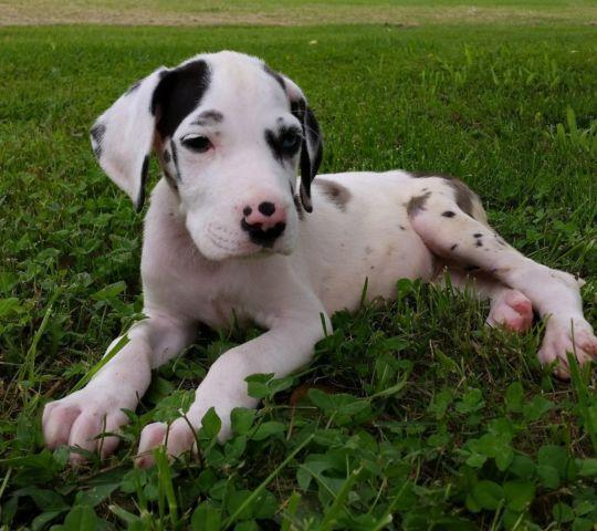 AKC Great Dane Puppies Ready! (Harl, Merle, Black) for ...