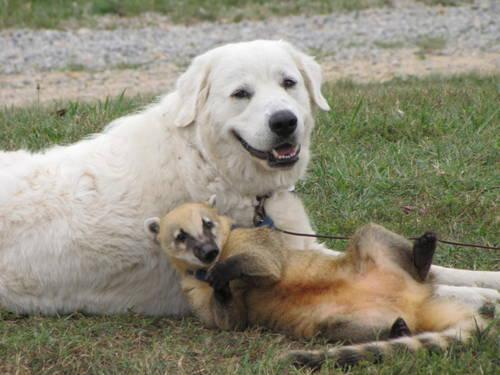 pics photos   great pyrenees puppies for sale