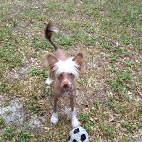 AKC Hairless Choc/Wht Chinese Crested Puppy