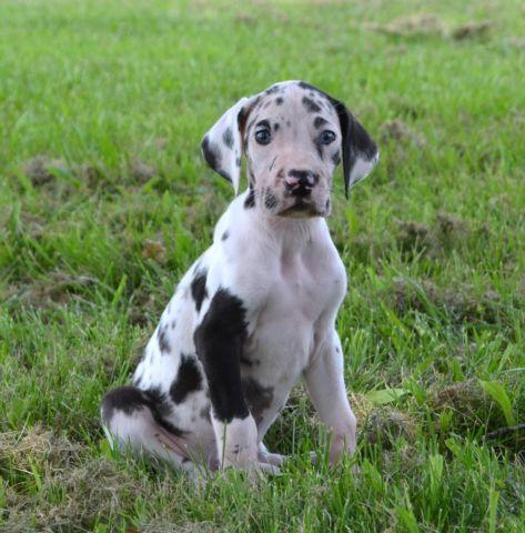 Pets And Animals For Sale In Chesterfield Missouri Puppy And