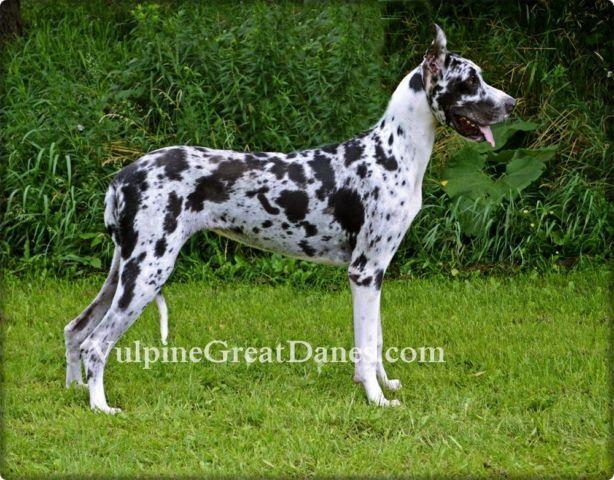 AKC Harlequin Great Dane Female For Sale