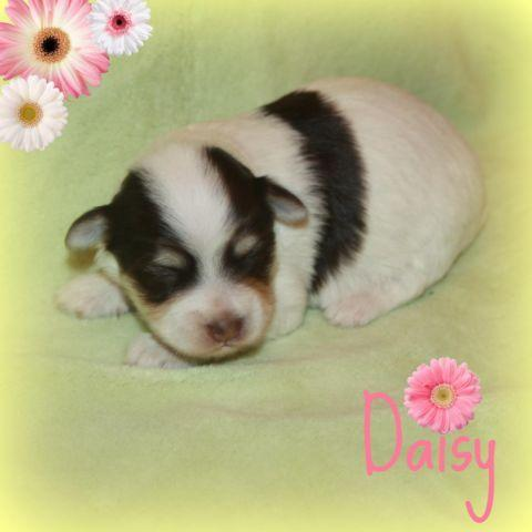 AKC Havanese - Daisy, 13 days old