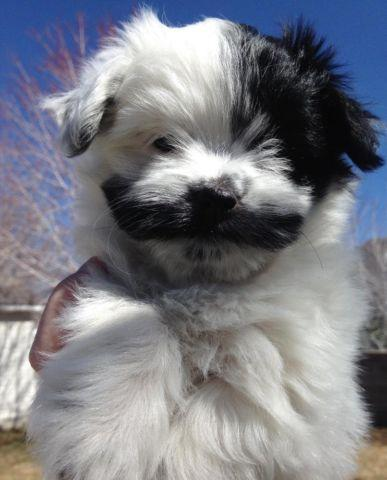 AKC Havanese Puppies - One Female, Two Males