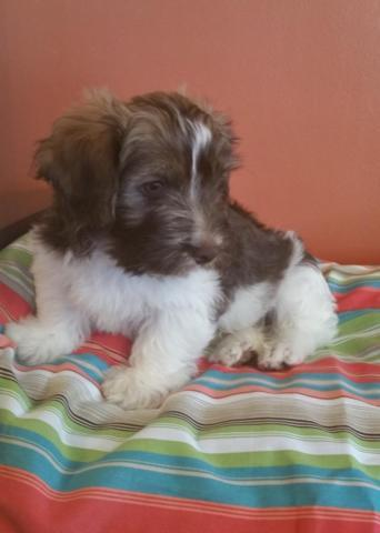 AKC Havanese Puppy Precious Chocolate/White Parti-Color Male - 9 weeks