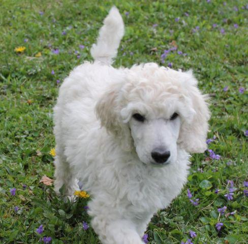 Akc Ice White Standard Poodle Puppy Male For Sale In