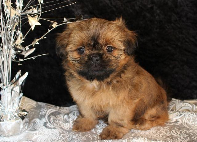 akc shih tzu puppies for sale akc imperial shih tzu puppies for sale in ellensburg 9642