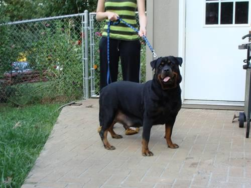 Akc Import Sire Rottweiler Puppies 4 Weeks Old For Sale In Stark