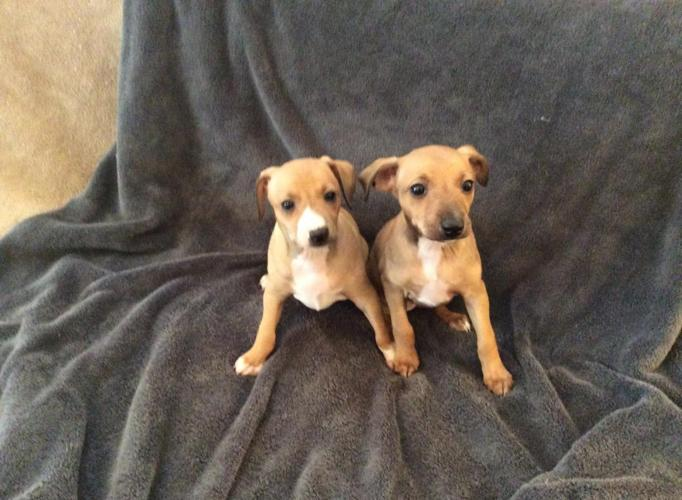 AKC Italian Greyhound puppies for Sale in De Land, Florida ...