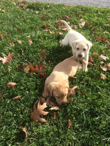 AKC Lab (Labrador Retriever) Puppies - Yellow