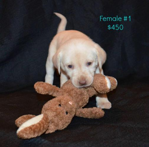 AKC Lab Puppies