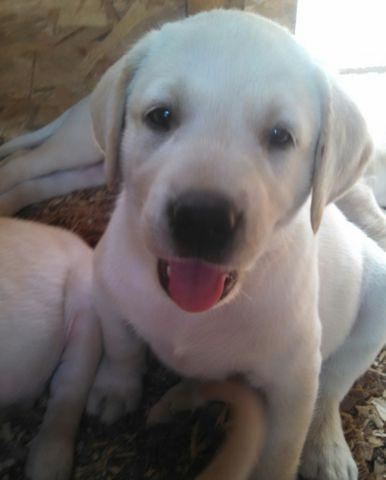 Akc Lab Puppies Bellefontaine Ohio For Sale In Bellefontaine Ohio