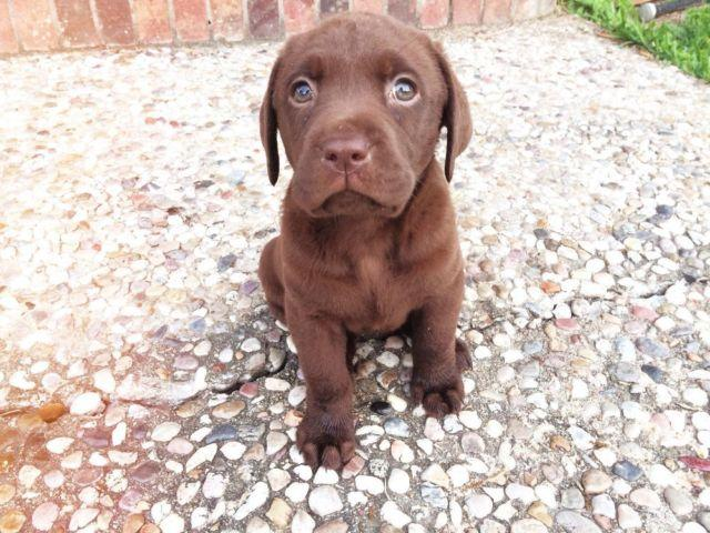 Akc Labrador Puppies For Sale In Palacios Texas Classified