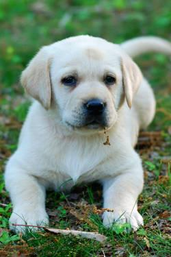 AKC Labrador Retriever Yellow