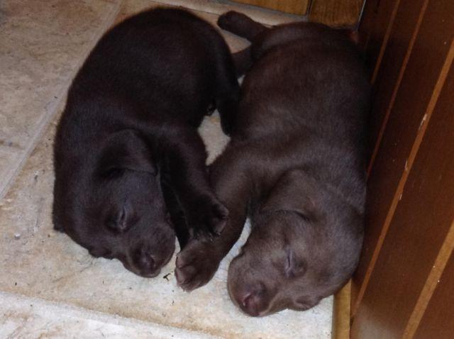 Akc Labrador Retrievers 9 Chocolate Puppies For Sale In Boonville