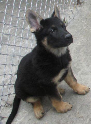 Akc german shepherd puppies ny