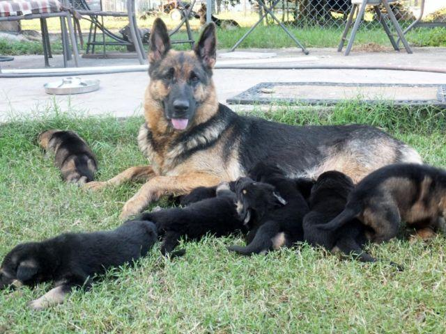 straight back german shepherd puppies for sale akc large straight back german bloodlines german shepherd 5883