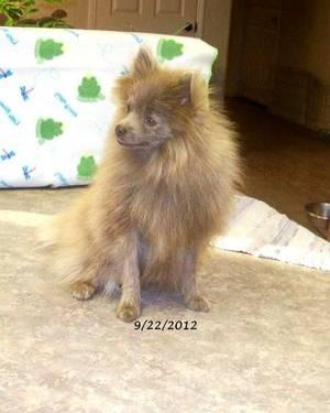 Akc Lavender Pomeranian Male 8 Months Old For Sale In