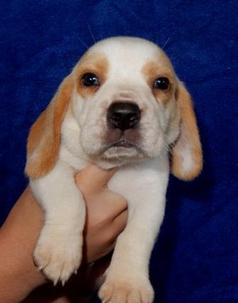 Akc Lemonwhite Male Beagle Puppy 1 For Sale In Fort Meade Florida