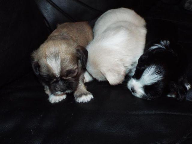 AKC LHASA APSO PUPPIESHYPOALLERGENIC SOME TOY SIZE