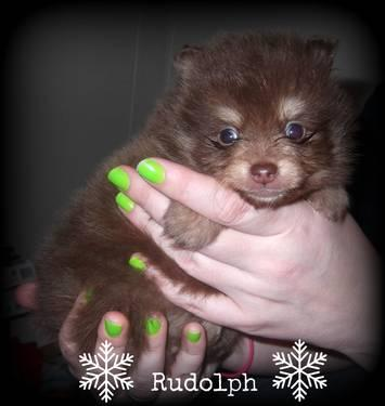 AKC lighter chocolate/tan male pomeranian