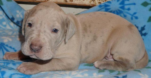 Akc Lilac Chocolate And Chocolate Carrier Great Dane
