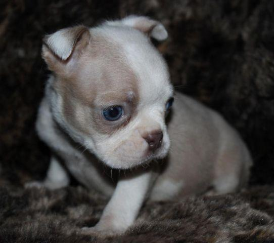 Akc Lilac Fawn Boston Terrier For Sale In Brooksville Florida