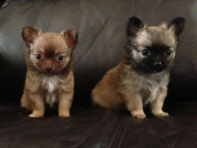 AKC Long Hair Chihuahua Puppies