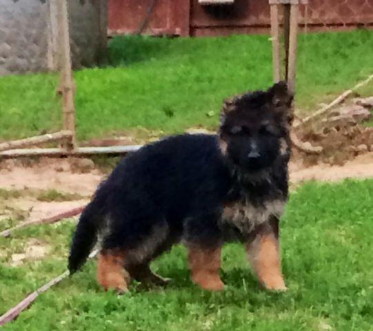Pets And Animals For Sale In Buffalo Kentucky Puppy And Kitten