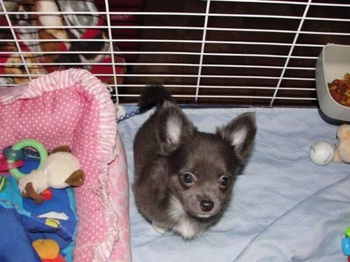 AKC LONG HAIRED CHIHUAHUAS