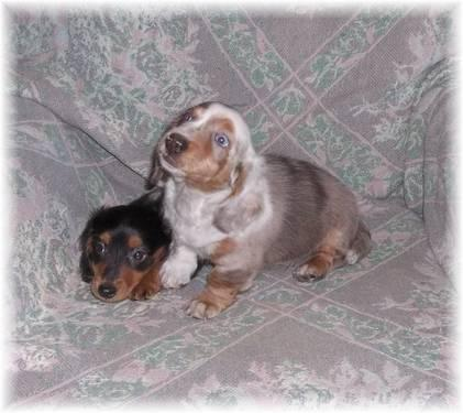Akc Long Haired Miniature Dachshund Puppies For Sale In Kimball