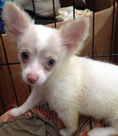 AKC Longcoat Chihuahua Puppy