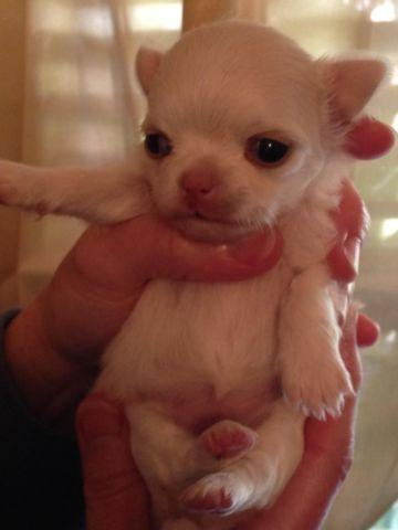 AKC Longcoat Chihuahua Puppy available for deposit