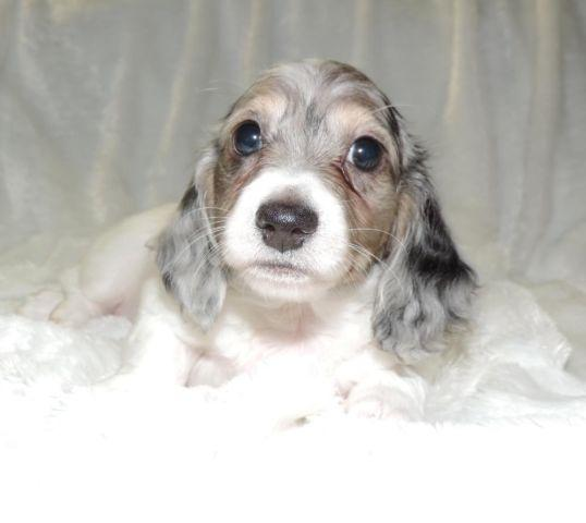mini dachshund Pets and Animals for sale in Washington - Puppy and ...