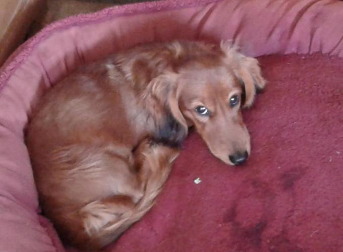 AKC longhaired miniature dachshund