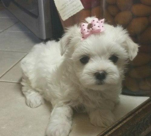 AKC Lovely Maltese Puppy