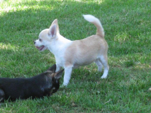 Chihuahua 9 Months AKC Male Chihuahua - 9...