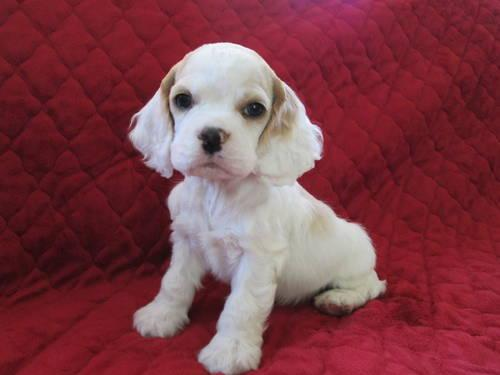 cocker spaniel puppies iowa akc male cocker spaniel puppy for sale in giard iowa 656
