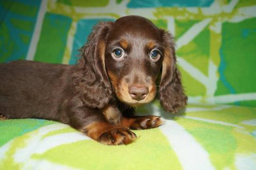 Long Haired Dapple Dachshund For Sale In Pennsylvania Classifieds