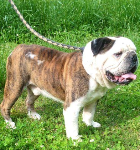 AKC'Male English Bulldog Champion Bloodline for sale in Arcadia, North ...