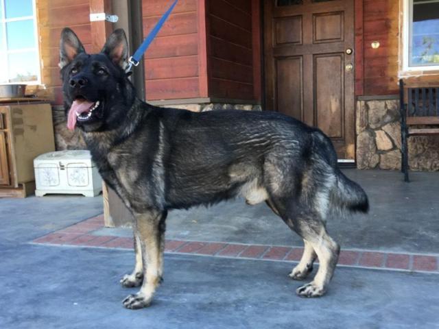 Akc male german shepherd for sale