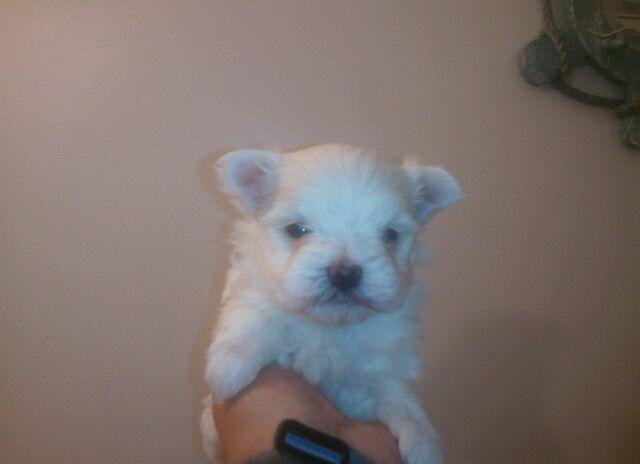 AKC MALE MALTESE Puppy