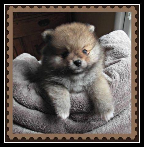 AKC Male Pomeranian Orange/Cream Sable with 4 white